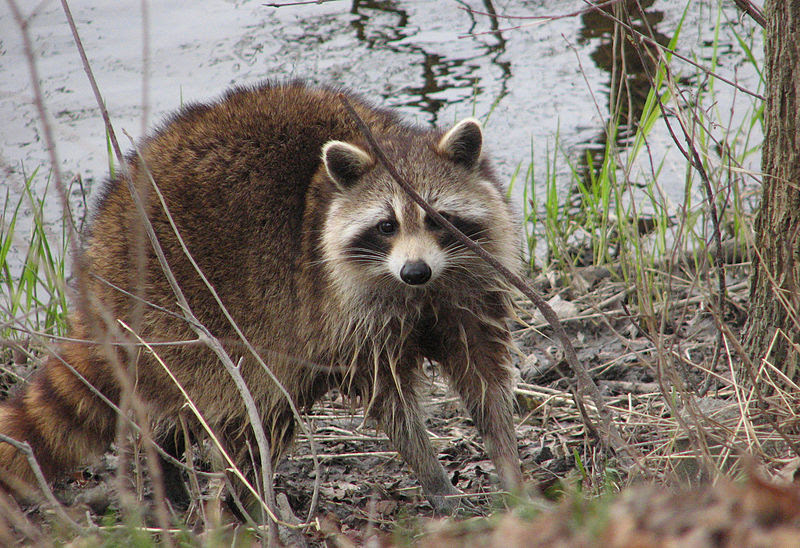 File:Raccoon, female after washing up.jpg