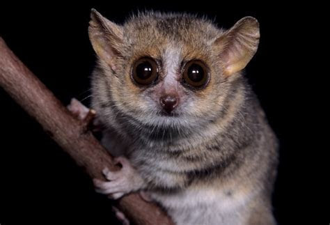 David Haring Photography   Mouse and Dwarf lemurs   Gray mouse lemur (Microcebus murinus)