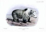 Tibetan Blue Bear - Ursus arctos pruinosus - Joseph Smit.jpg