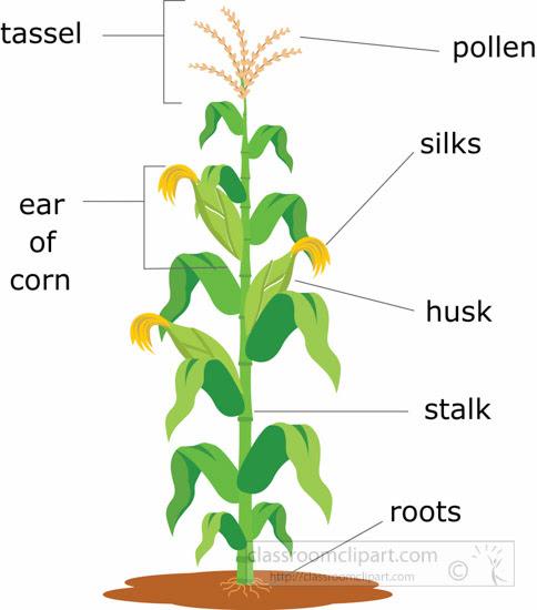 corn plant structure clipart illustration 6818