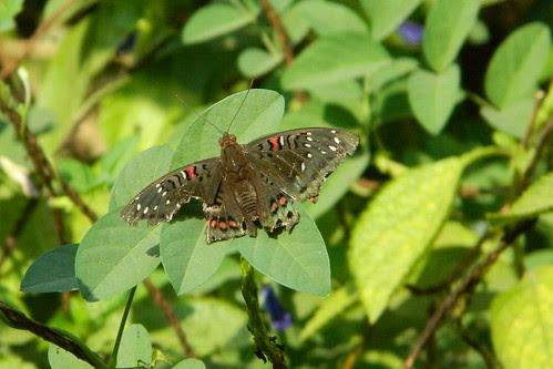 Jodi baron female butterfly