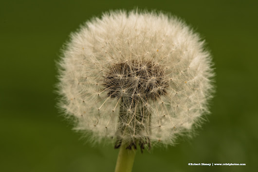 A Not So Dandelion