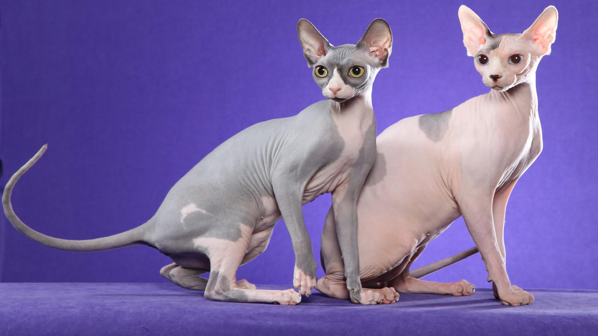 Animals Cats Sphynx cats on a purple [1920x1080]