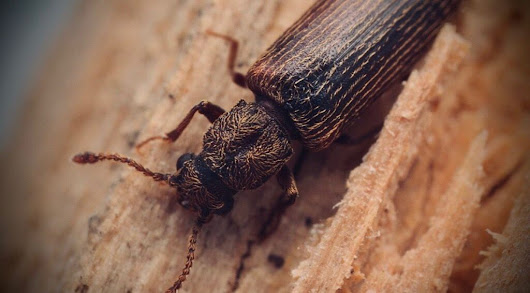 Powderpost Beetle Infestation Control | Western PA | Pestco