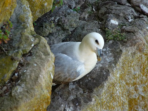 22074 - Fulmar at Thurba Head, Gower