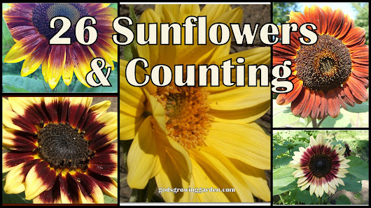 26 Sunflower Varieties & Counting....