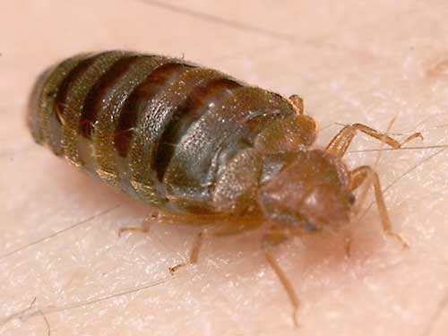3 Myths About Bed Bugs