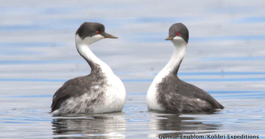 CLICK HERE to support Nest success of Critically Threatened Junin Grebe