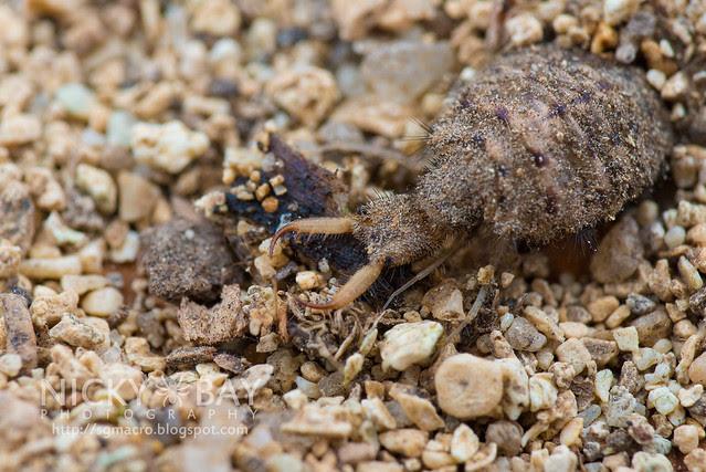 Antlion larva (Myrmeleontidae) - DSC_7117