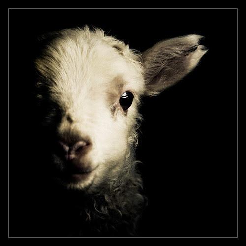 Lambs (5) por oskarpall