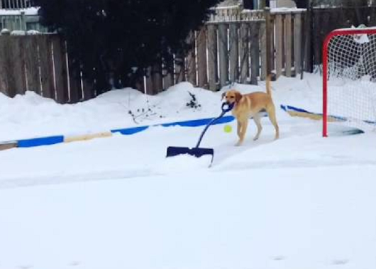 Watch This Funny Dog Shoveling The Hockey Rink