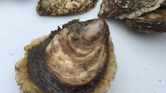 Tasmanian native Angasi oysters pursue a new market