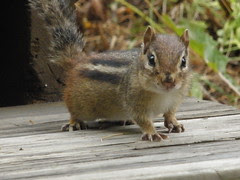 Chipmunk on Stairs