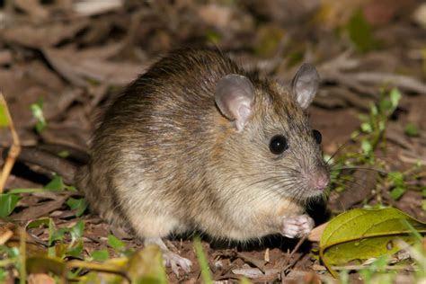 Bush Rat, Rattus fuscipes, Australia   in short grass, forag   Flickr