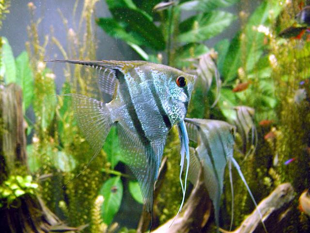 File:Freshwater angelfish biodome.jpg