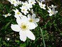 Wood anemone flowers