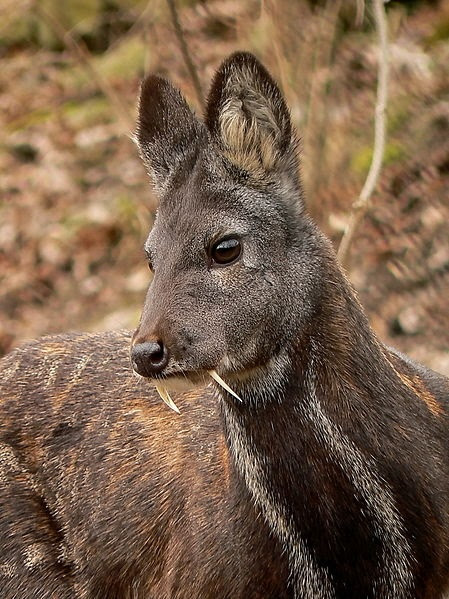 Fast Fact Attack: Endangered Species No. 100 – The  Siberian Musk Deer