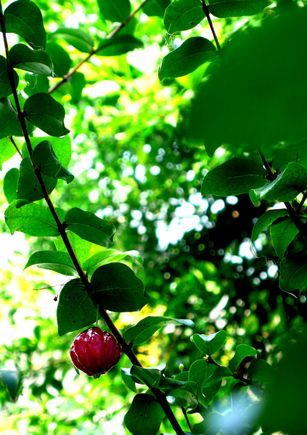 surinam cherry 1