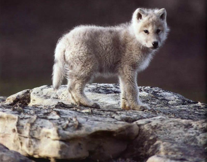 Imágenes De Cachorros De Lobos Imágenes Y Fotos