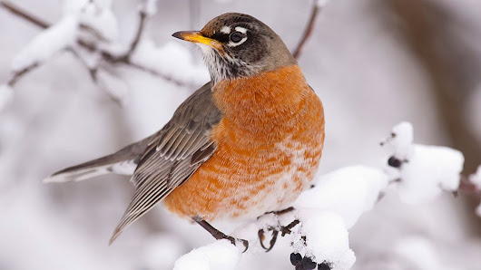 More Robins Are Sticking Around in Winter