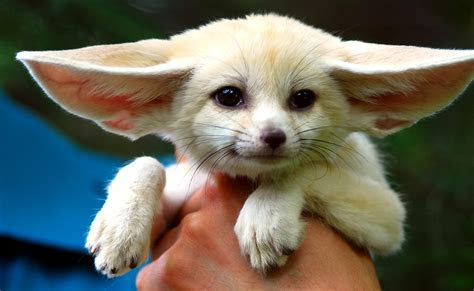 Fennec Foxes   Fennec Foxes and Friends