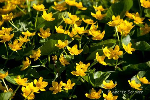 Cowslips (marsh marigold) (Caltha palustris)-1.jpg