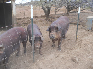 Our Sow Pebbles and Our Next Breeding Mother Lulu