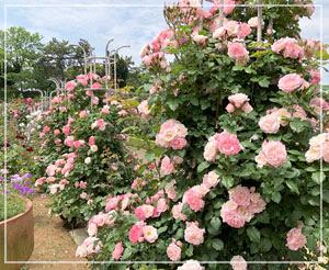 久しぶりの「谷津バラ園」。800種類、7500株の薔薇の圧巻です。