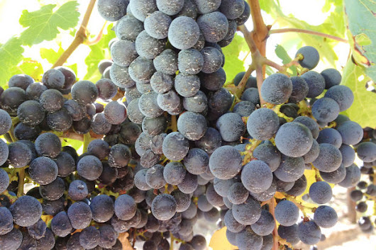 Napa Valley grape crop is 95 percent picked