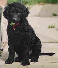 Best Picture of Curly Coated Retriever