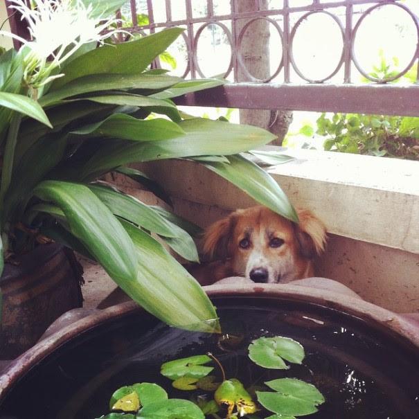 cachorro-envergonhado-12