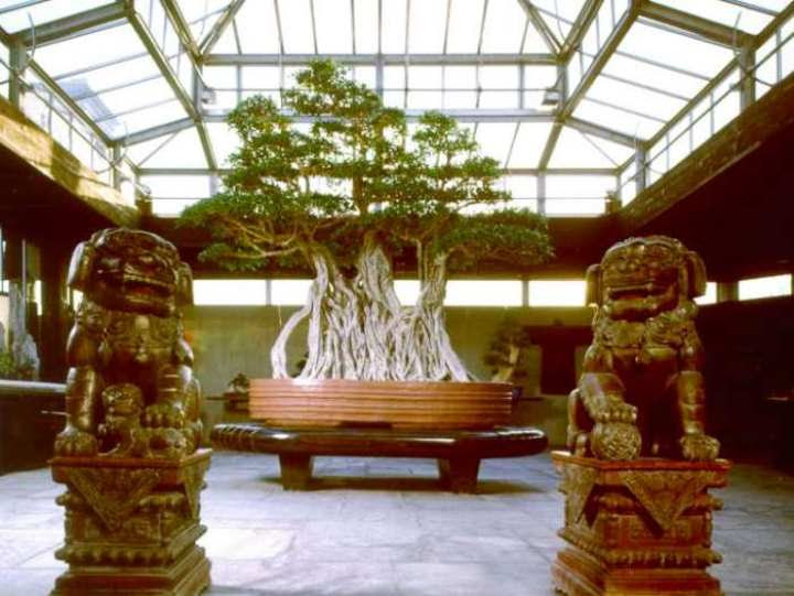 Ficus Bonsai 1000 year old