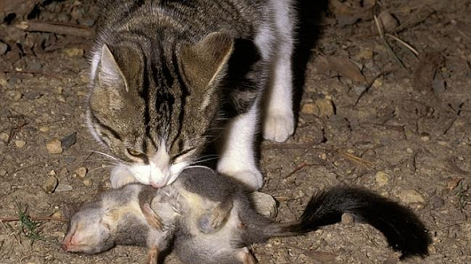 Greg Hunt calls for eradication of feral cats that kill 75m animals a night
