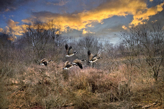 Sunset Geese by Christina Rollo