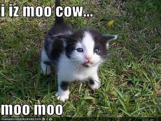 Image: I iz moo cow...moo moo | CATS - Cats, Too | Pinterest | The Face ...