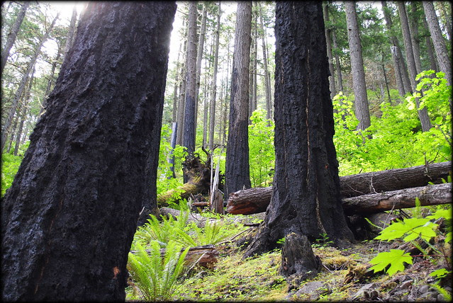 Tree trunks charred in the 2003 forest fire