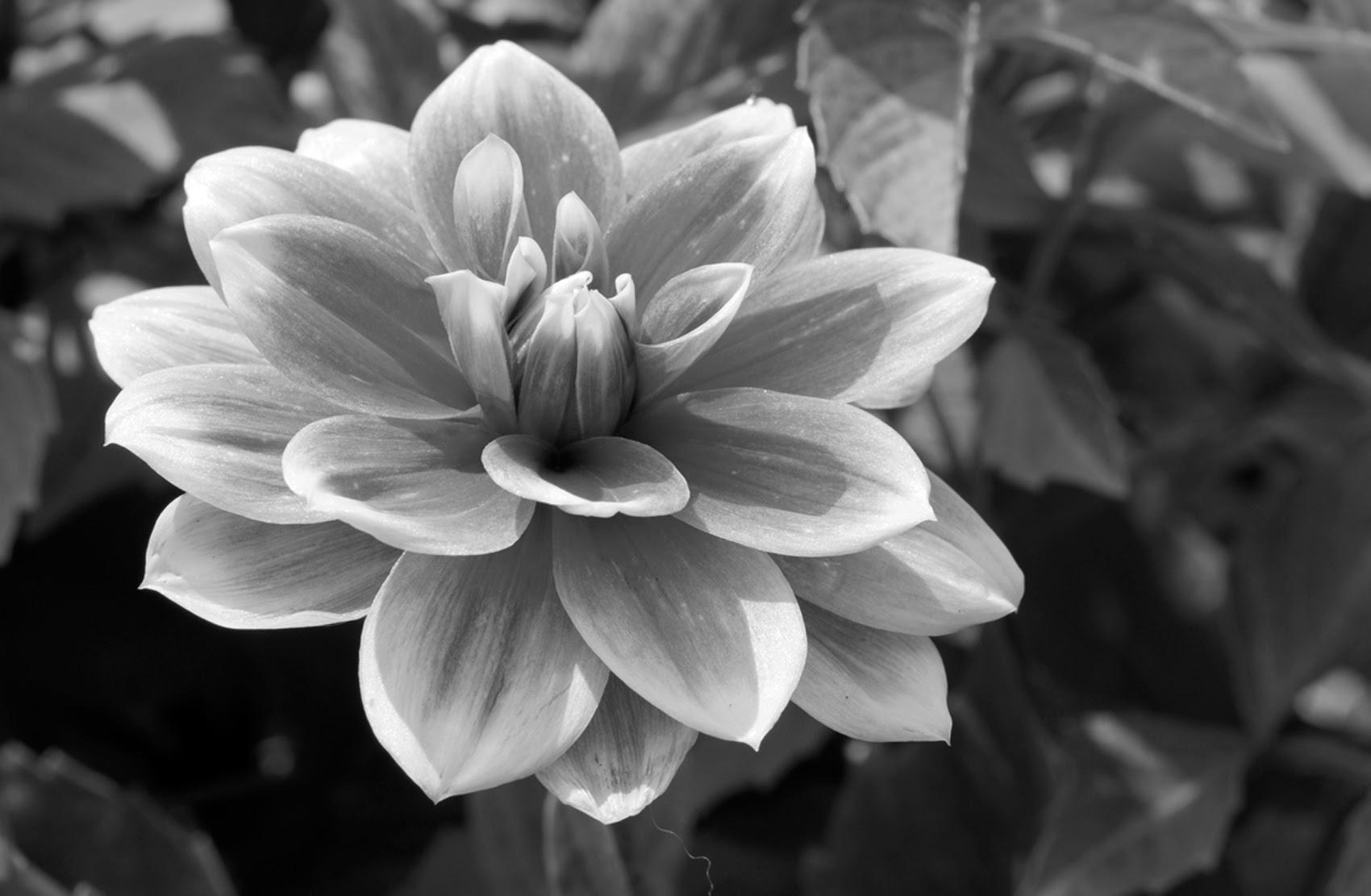 Flower Black And White Clipartsco
