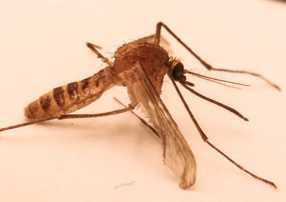 La genética demostró en 1999 que el 'Culex molestus' es una nueva especie de mosquito emergida en el metro de Londres.