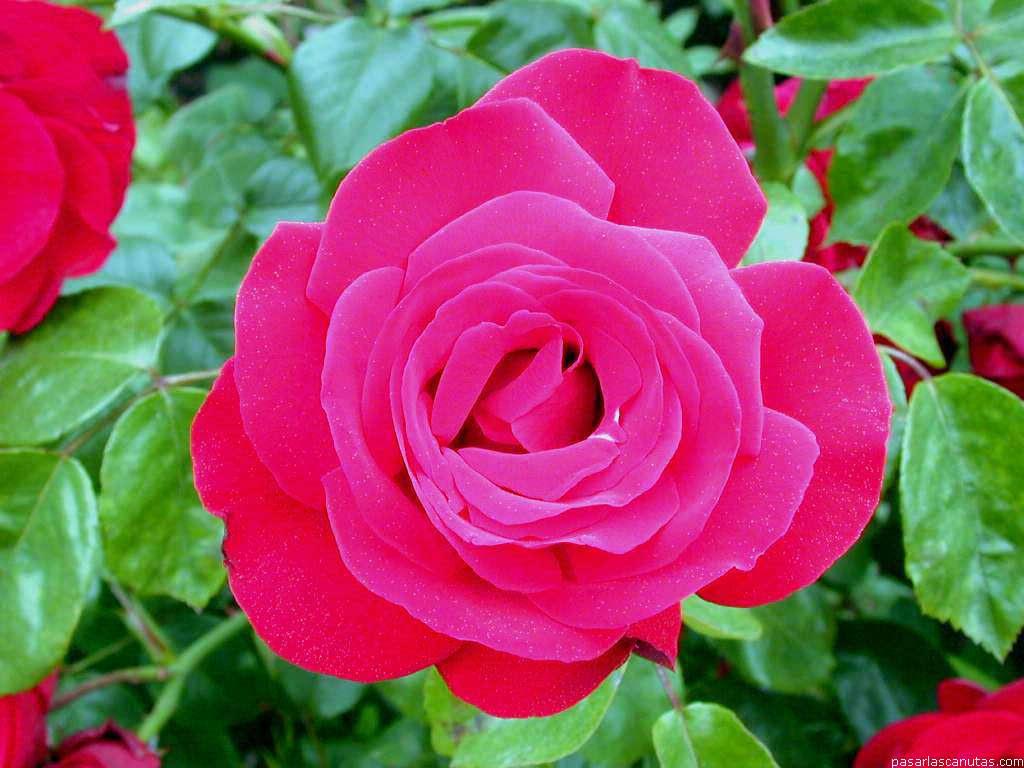 Fotos De Flores Rosas 2 Pag 11 240 Fotos De Calidad 1024x768