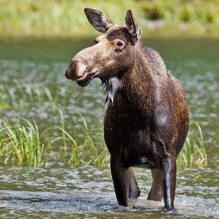 Moose Facts For Kids Naturemapping