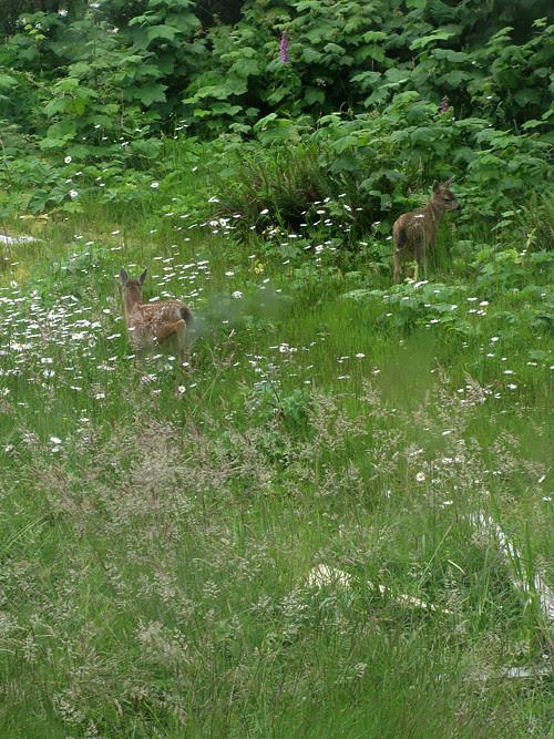 fawns in high grass and flowers, Kasaan, Alaska
