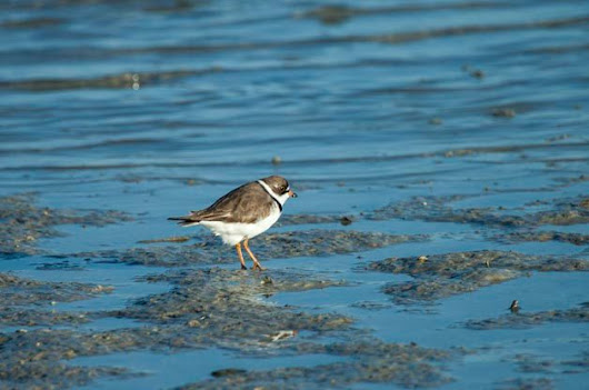 Shorebirds are Still Migrating - Birds and Blooms