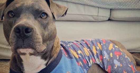 Rescued Pit Bull With Anxiety Calms Down In Her Pajamas