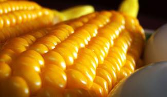 Científicos exigen al gobierno mexicano detener siembra de maíz transgénico