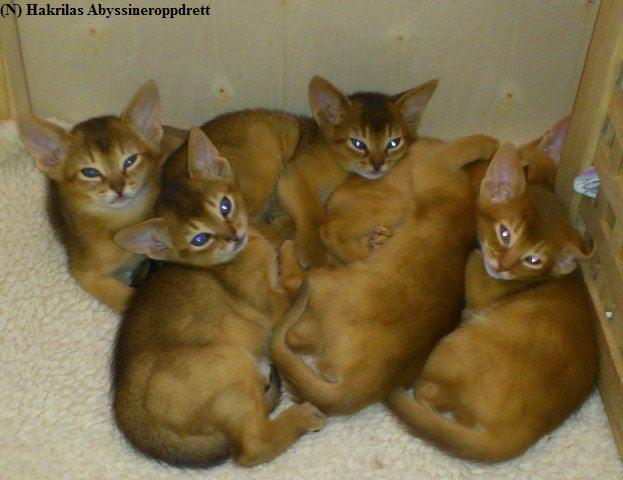 Alle 6 gutta i E-kullet samlet i kattungebingen. Her er de 7 uker gamle :)