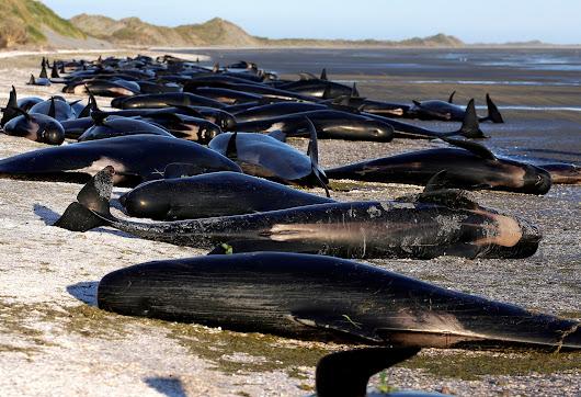 'It was really haunting': 416 beached whales propel New Zealanders into frenzied rescue mission