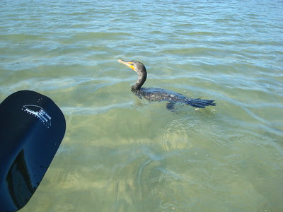 An anhinga comes swimming close to our kayak