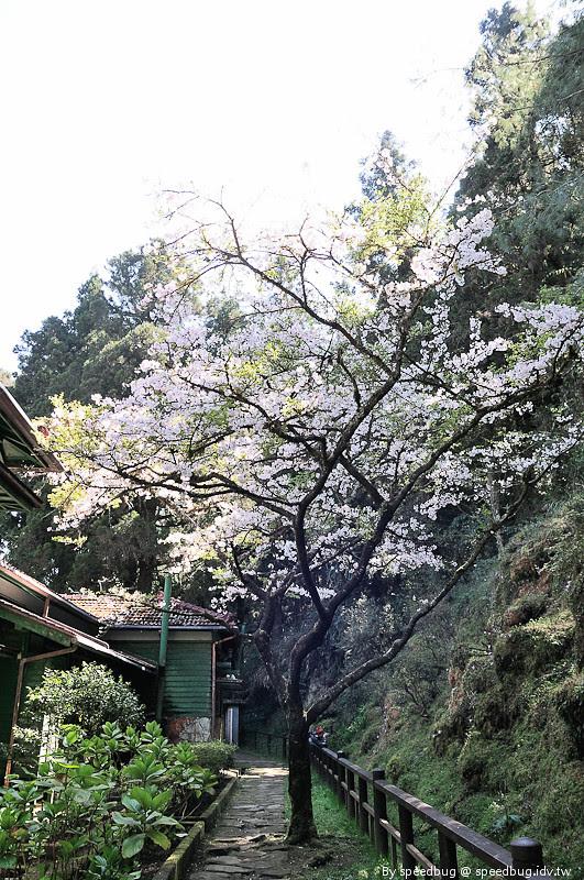 阿里山櫻花111