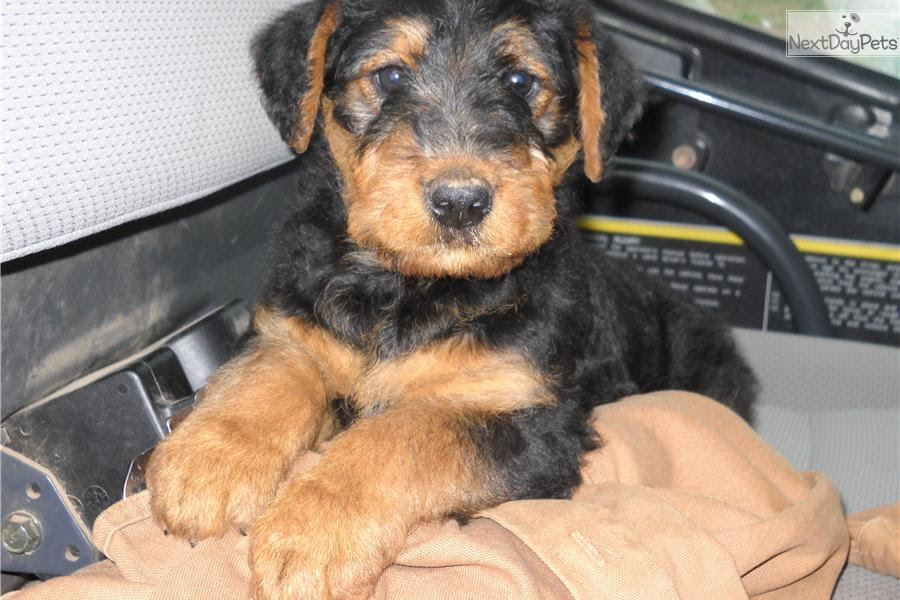 Airedale Terrier puppy for sale near Tulsa, Oklahoma  c9ab33958f41