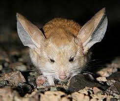 gambar binatang tikus, kanguru, foto hewan gurun, tanah tandus, keajaibah Alam, hewan yang kuat luar biasa menakjubkan